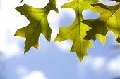 Oak Leaf With Sky