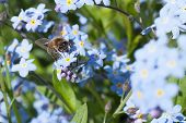 Honey Bee ,apis Species, Foraging On A Blue Flower