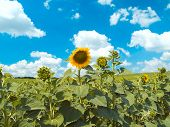 Some Sunflowers On A Background Of White Clouds And The Blue Sky
