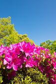 Blue Sky And Azalea