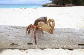 poo kai crab on white sand beach of tachai island similan national park