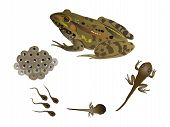 picture of tadpole  - It is illustration of life cycle of the frog - JPG