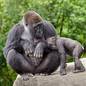 pic of gorilla  - Female gorilla caring for young while resting on rock - JPG