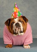 stock photo of dog clothes  - adorable English bulldog with pink shirt and birthday hat on blue background - JPG