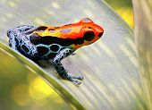 poison arrow frog bright red and blue. Exotic poisonous animal frog tropical Amazon rain forest in Peru beautiful amphibians often kept as pets in jungle terrarium a macro image. Ranitomeya amazonica