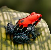 red poison dart frog. Tropical amphibian from Peru rain forest, a red morph of Ranitomeya amazonica