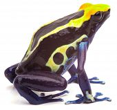 poison arrow frog form Amazon rain forest isolated on white. Dendrobates tinctorius, cobalt beautifu