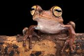 tropical tree frog with big eyes on branch in Amazon rain forest. Exotic jungle animal macro. This a
