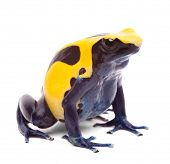 yellow blue poison dart frog from Amazon rain forest in Suriname, Dendrobates tinctorius often kept as pet animal in a tropical rainforest terrarium. Beautiful vibrant amphibian isolated on white