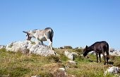 pic of headstrong  - Two Donkey grazing in the spanish countryside - JPG