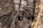 Hunting spider  Trochosa Terricola