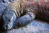A giant Komodo dragon lying on a stony beach