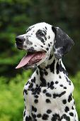 Portrait Of Smiling Dalmatian Puppy In The Garden