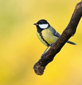 Great Tit On Yellow Background.