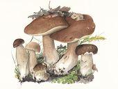Mushroom Boletus edulis / Hand painted