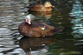 Feral Muscovy Duck