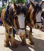 stock photo of clydesdale  - Pair of majestic clydesdale horses resting after pulling an old - JPG