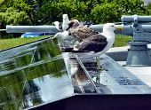stock photo of emplacements  - Black backed sea gulls on a park fountain in front of historic gun emplacements - JPG
