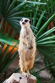 meerkat on a background of palm trees