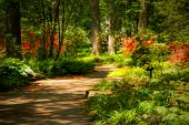 pic of azalea  - Beautiful manicured garden with a path lined with blooming azalea bushes - JPG