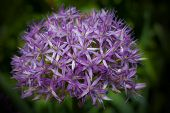 Star Of Persia Flower