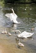 Family Of White Swans With Fledglings