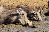 Wildlife Warthogs Water Mud