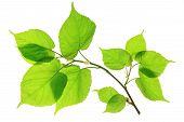 Lime (Tilia)