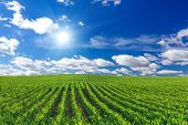 stock photo of plowed field  - Corn field and and blue sky at day - JPG