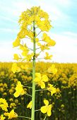image of rape-field  - Canola field - JPG