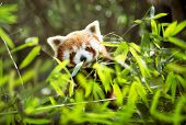Young lesser panda eating leaves