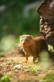 Wild  ferret in forest