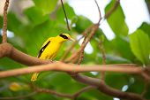 Yellow canary sitting  on branch