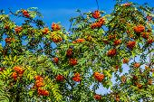 stock photo of rowan berry  - Rowan tree with red berries and leaves - JPG