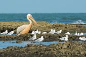 A Great White Pelican (pelecanus Onocrotalus) Standing Amongst Slender-billed Gulls At Low Tide