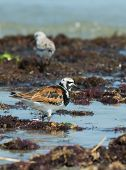 A Ruddy Turnstone (arenaria Interpres) Wading Amongst Seaweed