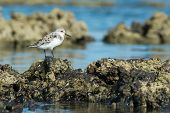 A Sanderling (caladris Alba) Standing On Barnacle Covered Rocks At Low Tide