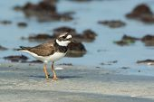 Adorable Ringed Plover (chadrius Hiaticula) On The Beach