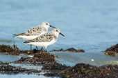 Two Sanderling (caladris Alba) Standing On Seaweed With The Tide Coming In