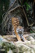 Amur Tiger Stretching Out