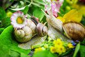 Snails-Helix pomatia