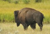 Bison Migrating