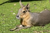 Patagonian Hare Or Mara