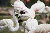 Flamingo in a Flock of Flamingoes