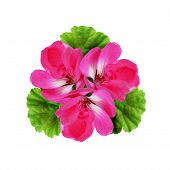 Geranium Flowers Composition