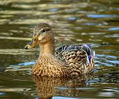Female Mallard Duck in water