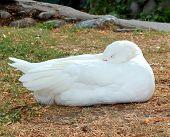 White Goose in Grass