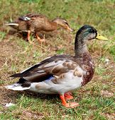 foto of male mallard  - Male Mallard Duck Ducks walking in grass - JPG
