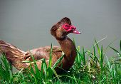 Brown Muscovy Duck On A Grass