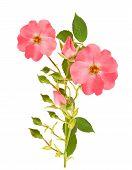 pic of dog-rose  - Dog rose branch isolated on white background - JPG